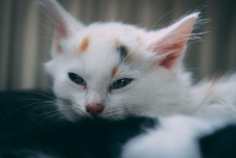 Den vita kattungen faller nästan sovande fotografering för bildbyråer