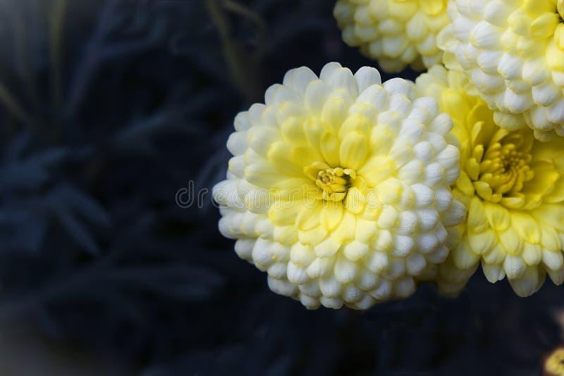 Den vita krysantemumet blommar closeupen royaltyfria bilder