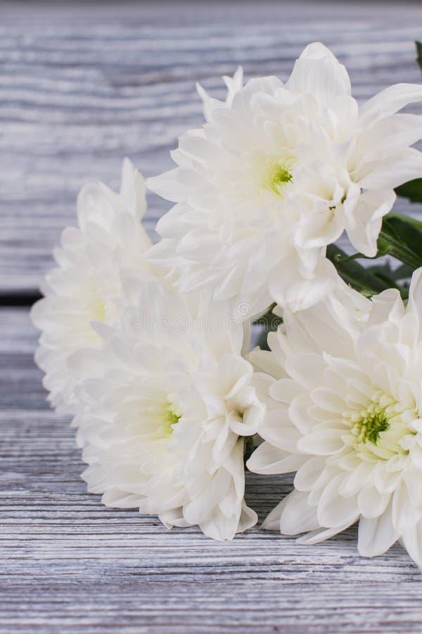 Den vita krysantemumet blommar på träbakgrund arkivbild
