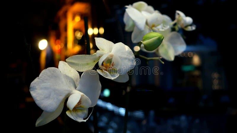 Den vita lösa orkidén i natten royaltyfri bild