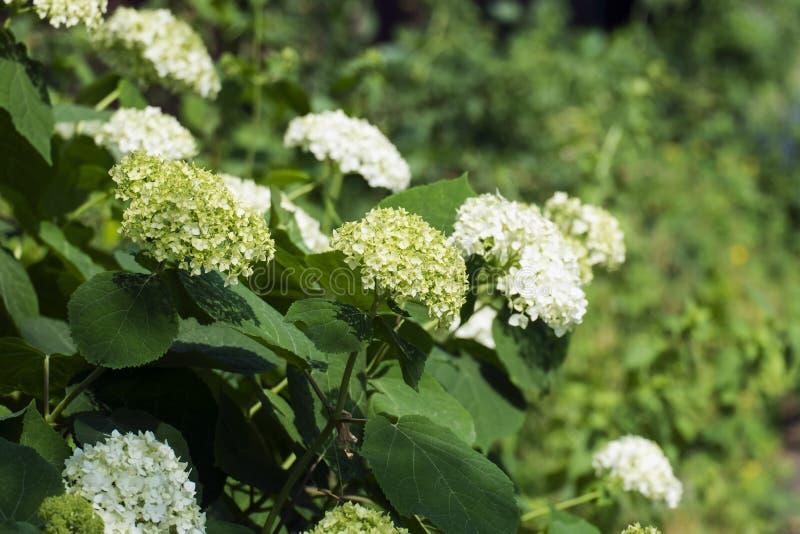 Den vita lösa vanliga hortensian blommar i inflorescences royaltyfri foto
