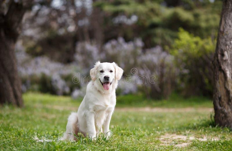 Den vita labrador i sommaren parkerar fotografering för bildbyråer
