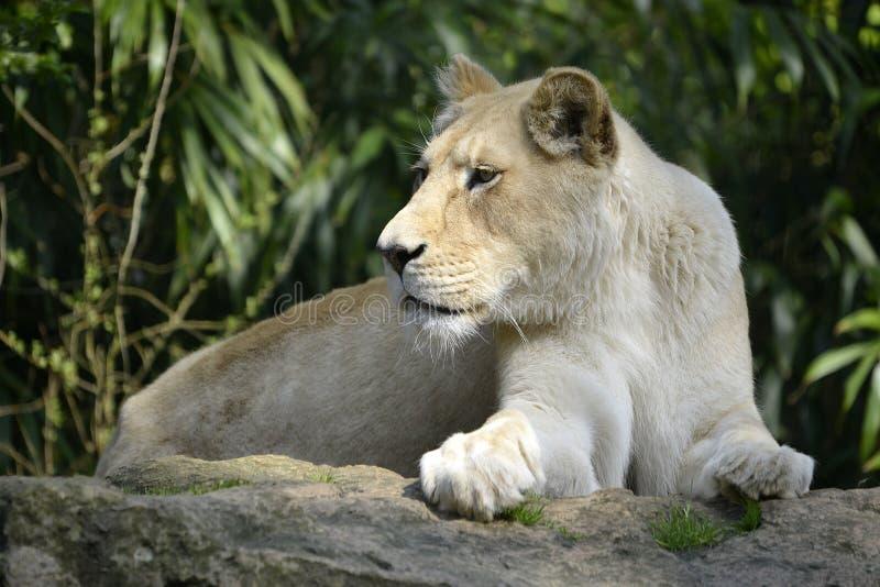 Den vita lejoninnan som ligger på, vaggar royaltyfria bilder