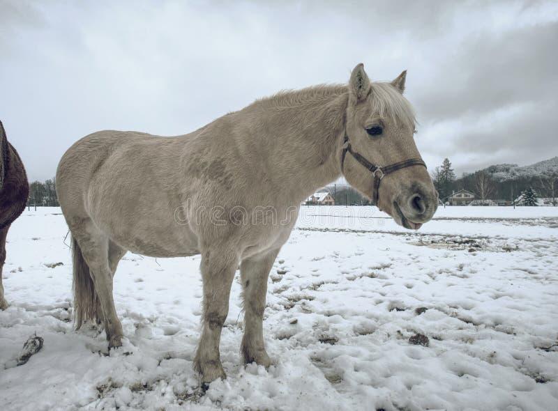Den vita leriga hästen i ny snö skallr rullningen royaltyfria bilder