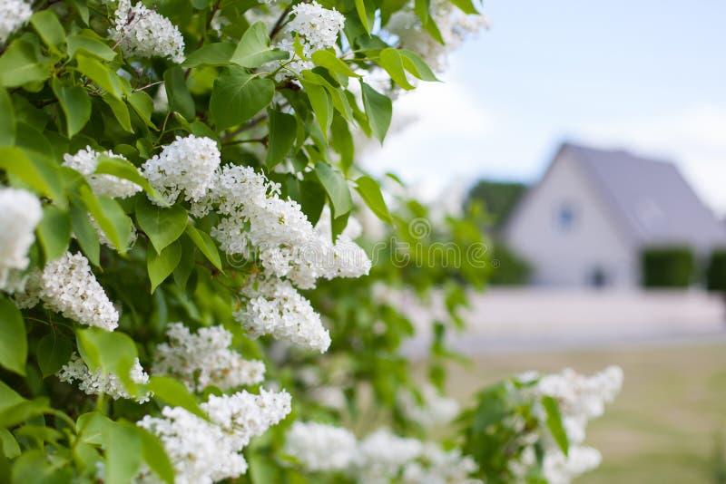 Den vita lilan blomstrar med ett familjhus i bakgrunden royaltyfria bilder