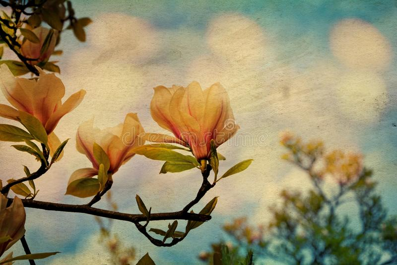 Den vita magnolian blomstrar på trädet med texturmagnoliaceaen arkivfoton
