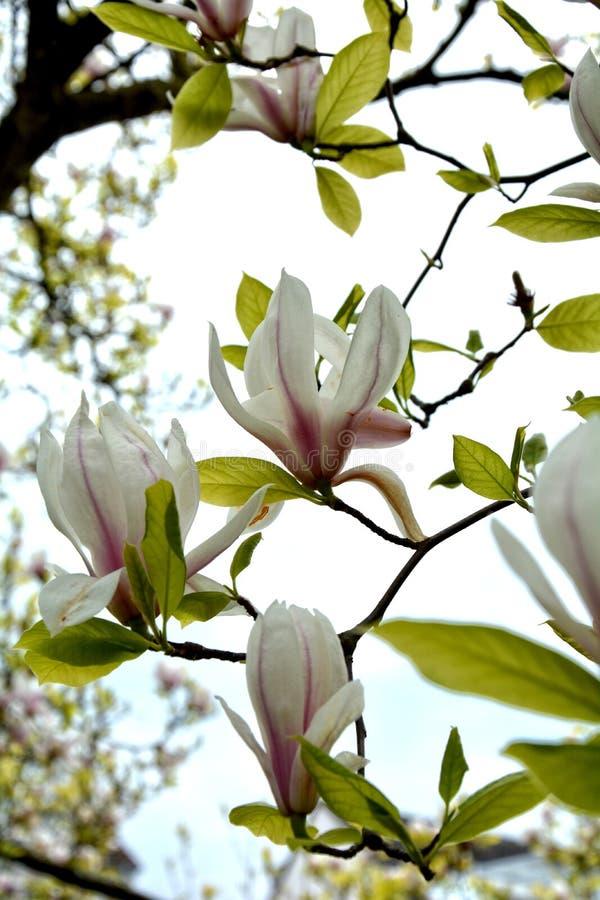 Den vita magnolian blomstrar på trädmagnoliaceaen royaltyfria foton