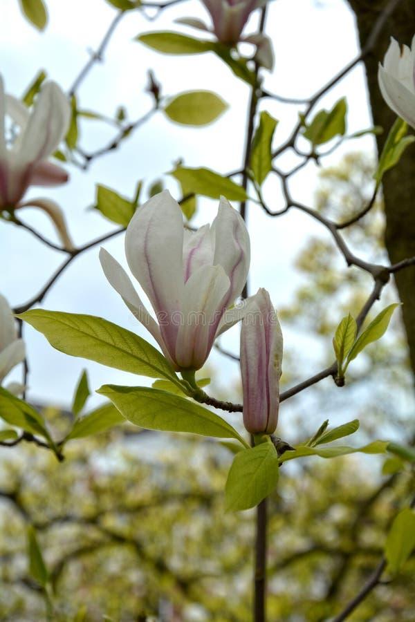 Den vita magnolian blomstrar på trädmagnoliaceaen arkivbild