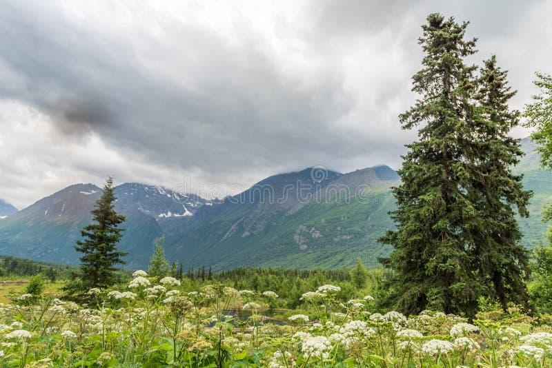 Den vita mjölkörten blommar nära Alaska ` s Eagle River royaltyfri foto