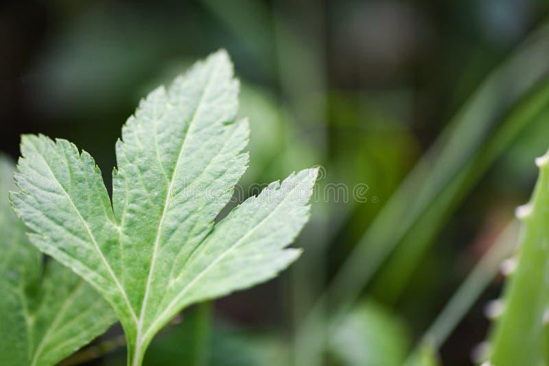 Den vita mugworten lämnar gräsplan för natur för örtgrönsakmat i trädgården royaltyfria foton