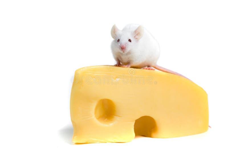 Den vita musen sätta sig på ett stort kvarter av ost royaltyfri fotografi