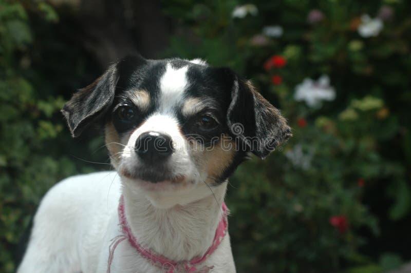 Den vita och svarta korta släta haired kvinnliga Chihuahuablicken lämnade arkivbild