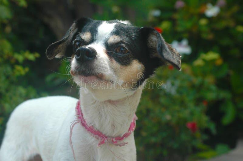 Den vita och svarta korta släta haired kvinnliga Chihuahuablicken lämnade arkivfoto
