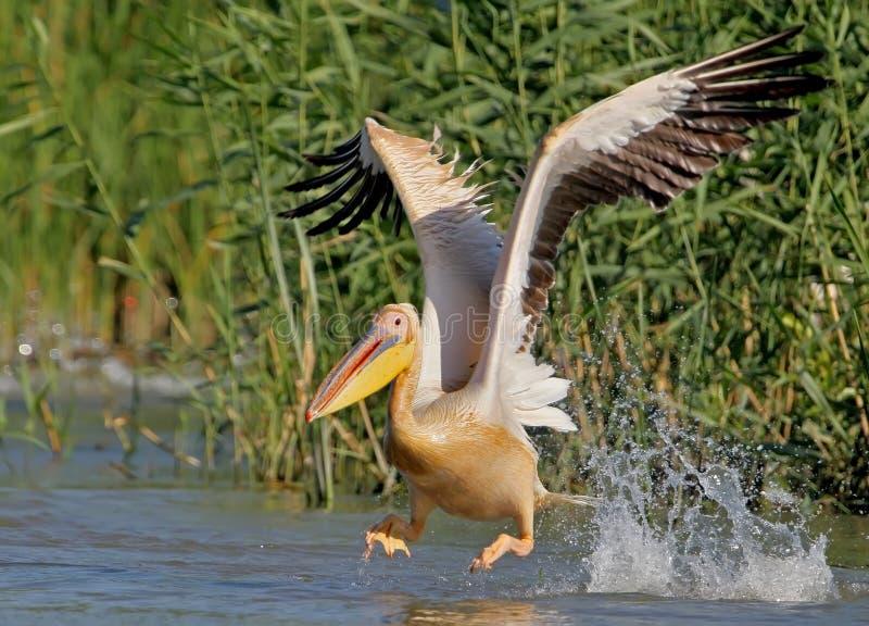 Den vita pelikan tar av royaltyfri fotografi