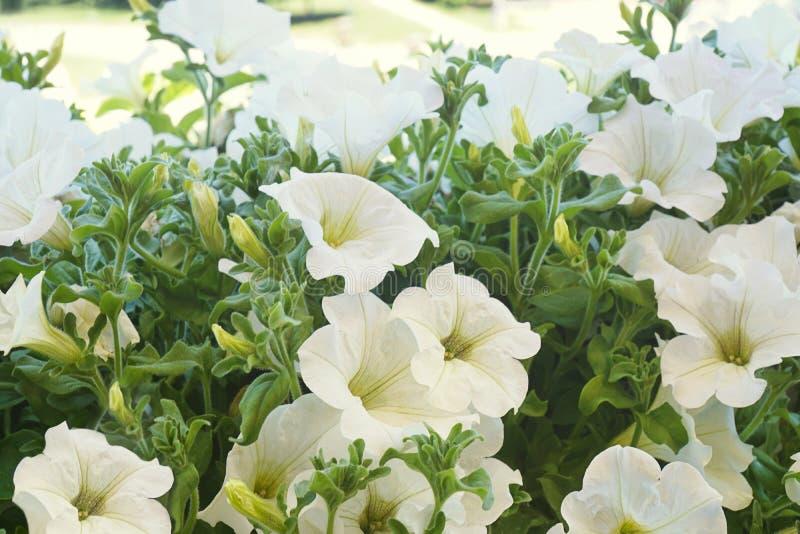 Den vita petunian blommar i solen royaltyfria bilder