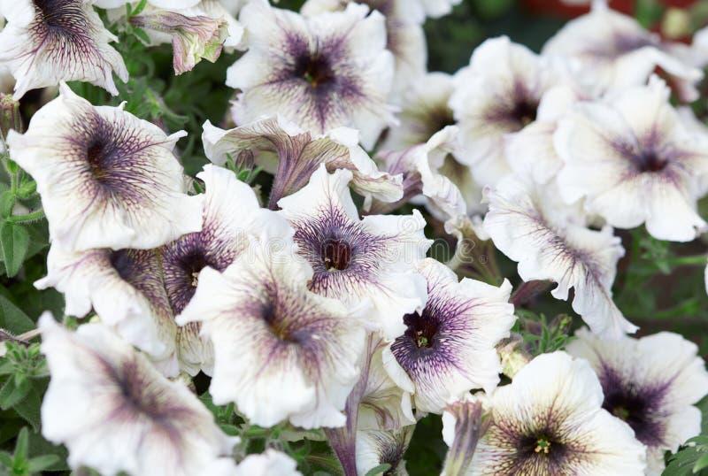 Den vita petunian blommar med purpurfärgad veining arkivbild