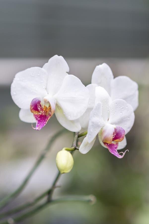 Den vita Phalaenopsisorkidén från Ukraina orkidér växer väl under lång tid i Ukraina arkivfoto