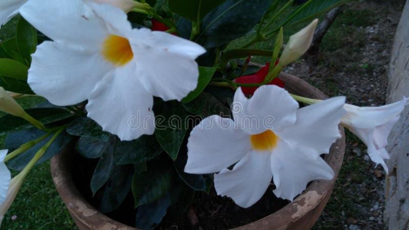 Den vita renheten av jasminen arkivbilder