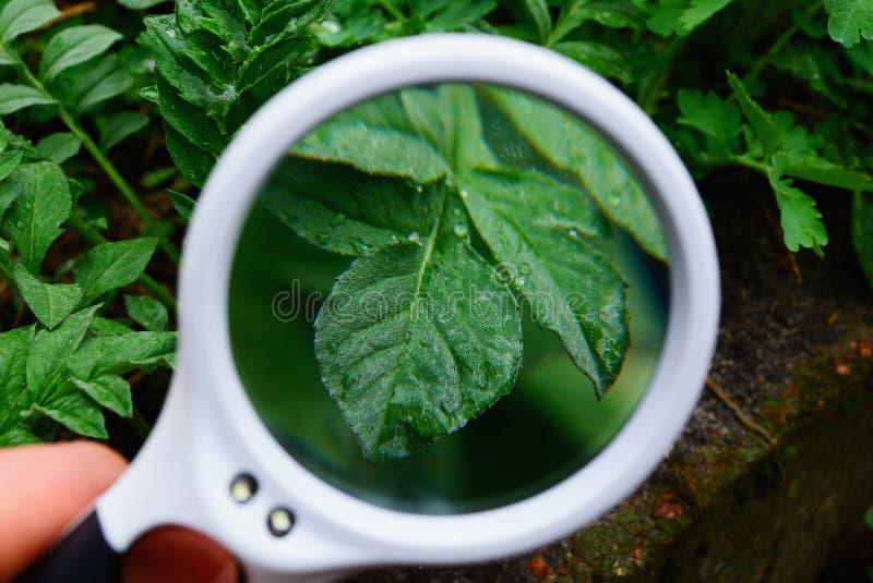 Den vita runda förstoringsapparaten ökar det gröna bladet av växten royaltyfri fotografi
