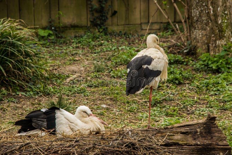 Den vita storken/Ciconiaciconia sitter ovanför ett förälskelserede i natur royaltyfria bilder