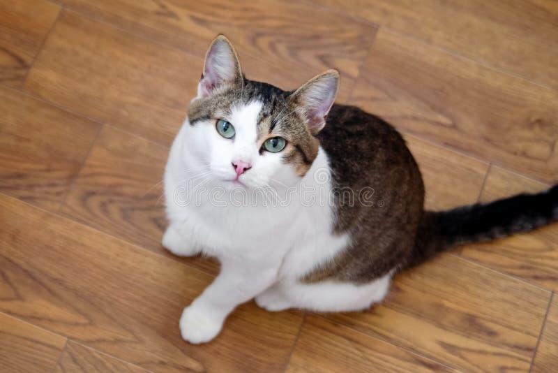 Den vita strimmig kattkatten med gröna ögon sitter på ett golv och ser in i kameran royaltyfria bilder