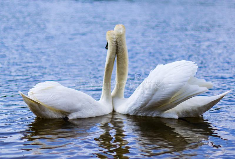 Den vita svanen är en mycket härlig fågel royaltyfri illustrationer