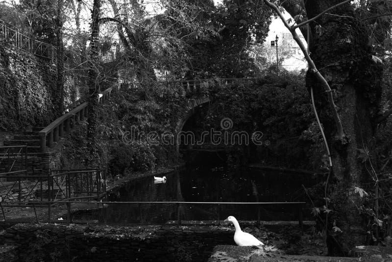 Den vita svanen av svansjön royaltyfria foton