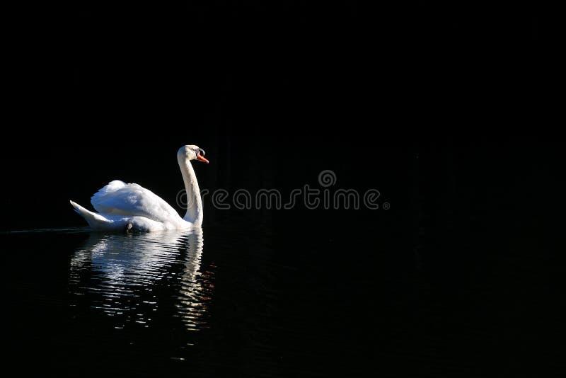 Den vita svanen simmar i sjön i morgontid arkivfoton