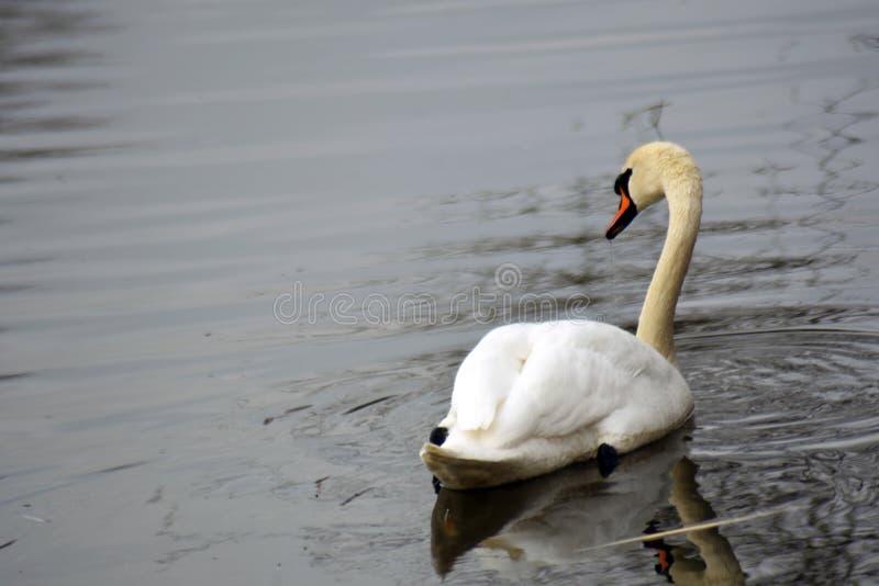 Den vita svanen simmar på ett damm royaltyfri fotografi