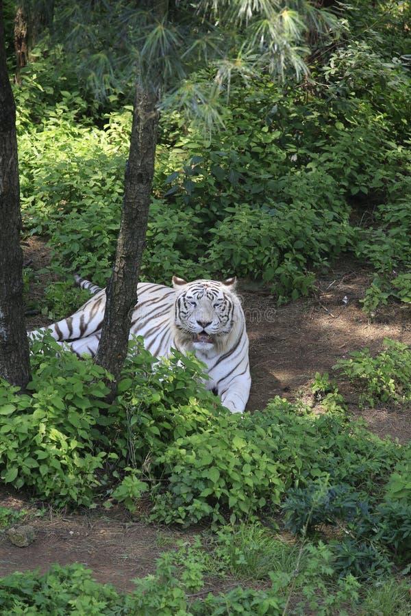 Den vita tigern är en av de fyra andarna av den forntida kinesiska mytologin Det påbörjade från den forntida stjärnadyrkanen och  royaltyfria bilder