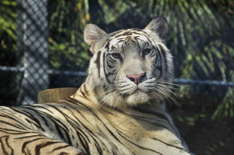 Den vita tigern royaltyfri foto
