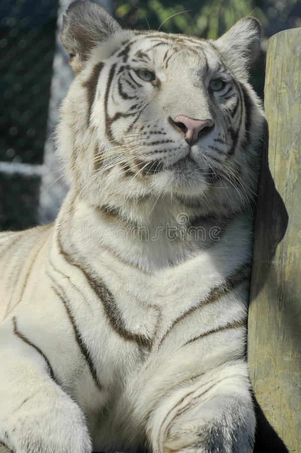 Den vita tigern royaltyfri fotografi