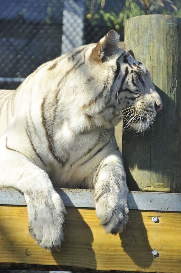 Den vita tigern arkivfoto