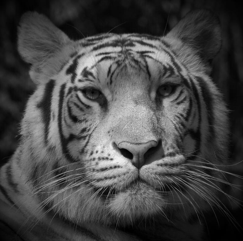 Den vita tigern arkivbilder