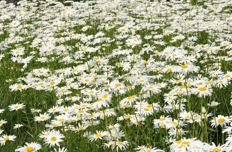 Den vita tusenskönan blommar på ängen. royaltyfri fotografi