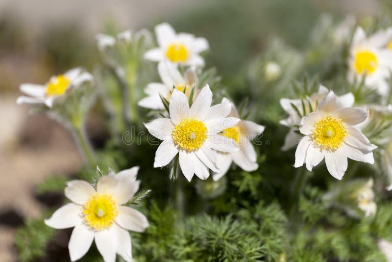 Den vita våren easter blommar Pulsatillapatens i trädgården arkivbild