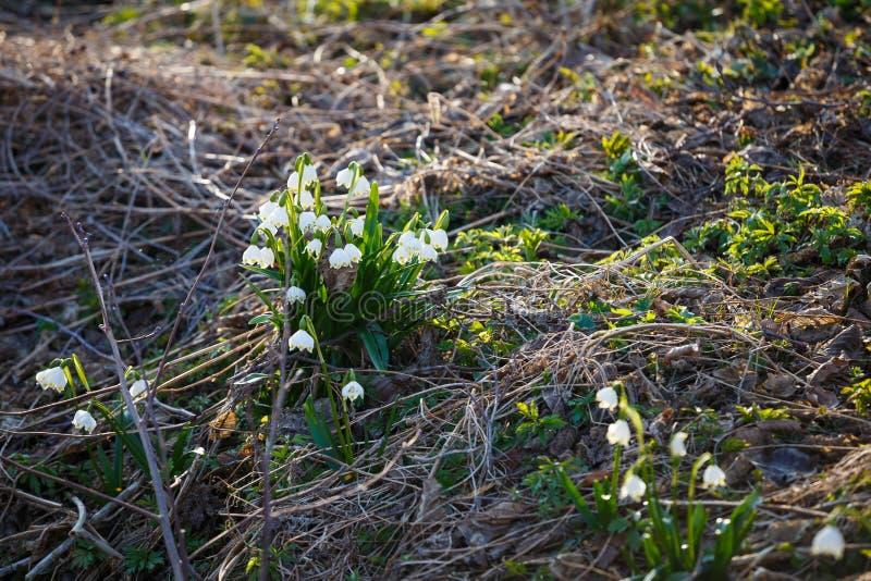 Den vita vårsnöflingan blommar leucojumvernum royaltyfri bild