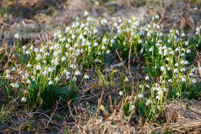 Den vita vårsnöflingan blommar leucojumvernumen, vårbac royaltyfria bilder
