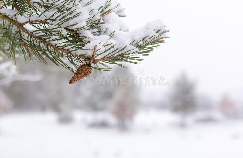 Den vita vintern - sörja filialen med pineconen, slut upp royaltyfria bilder
