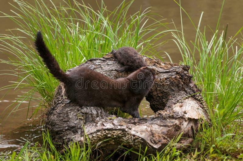 Den vuxna amerikanska minken (Neovison vison) drar satsen från uppe på journal arkivbild