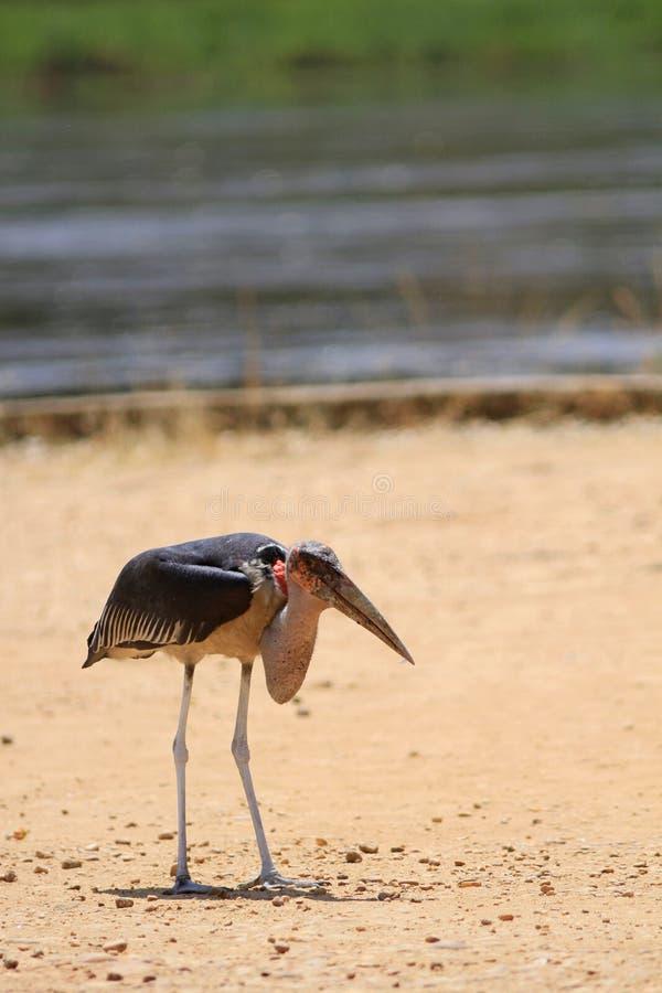 Den vuxna gå marabu fotografering för bildbyråer