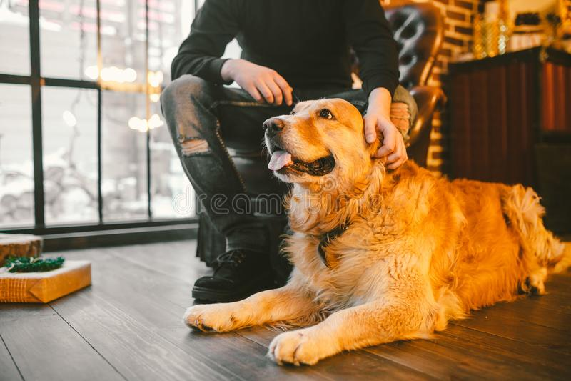 Den vuxna hunden en golden retriever, abrador ligger bredvid benen för ägare` s av en manlig avelsdjur I inre av huset på a arkivfoto