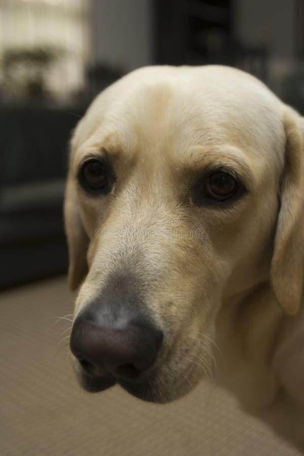 Den vuxna hunden labrador vänder mot royaltyfri foto