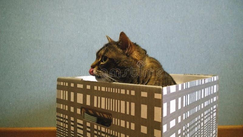 Den vuxna stora katten sitter i en randig ask Tungan slickar näsan fotografering för bildbyråer