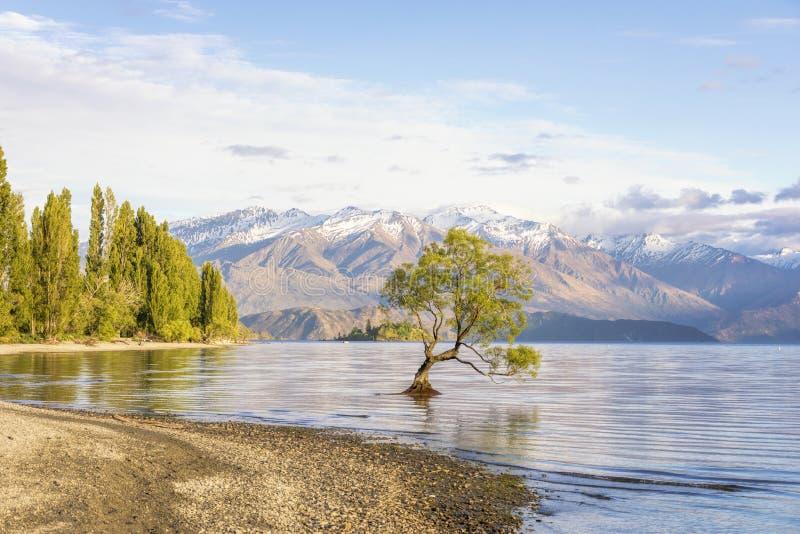 Den Wanaka träd- och sjöWanaka shoreline, Wanaka, Nya Zeeland royaltyfri bild