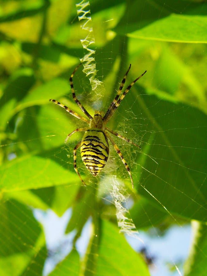 Den Wasp spindeln på arbetsplatsen som skapar en spiderwebArgiope, bruen arkivbild