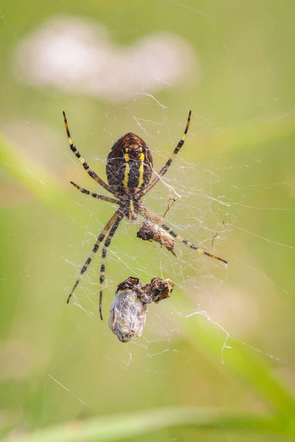 Den Wasp spindeln rotera ett rov royaltyfri fotografi