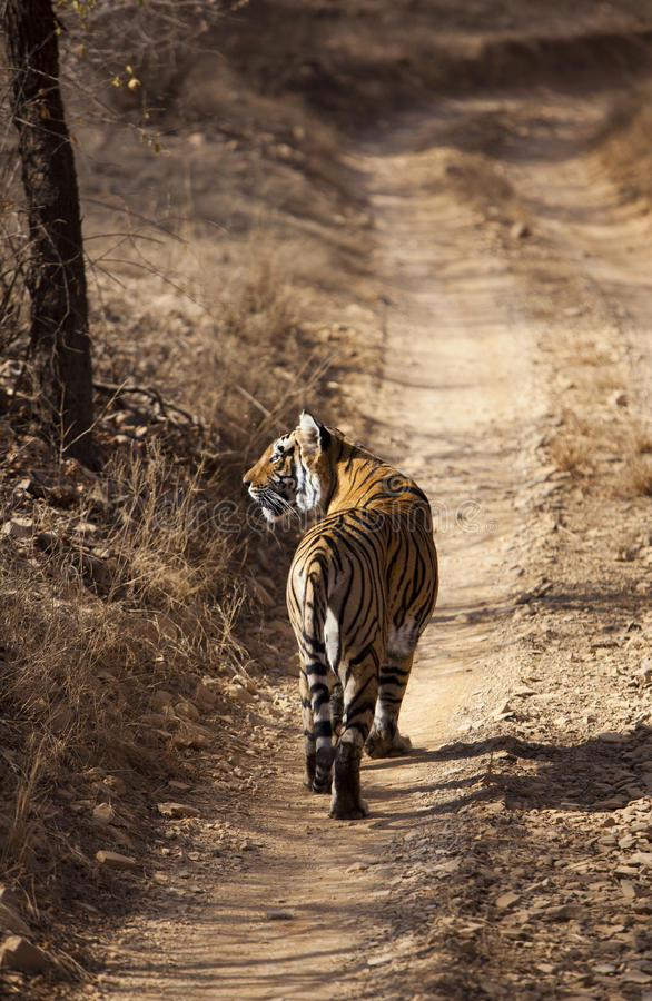 Den watchful tigern. arkivbild