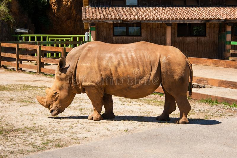 Den Whte noshörningen på Cabárceno parkerar royaltyfri fotografi