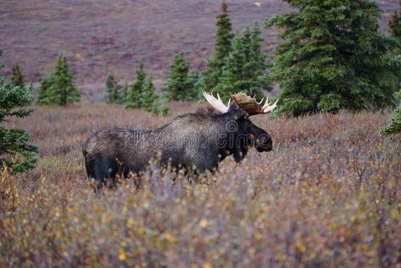 Ταύρος αλκών στο τοπίο φθινοπώρου στην Αλάσκα στοκ εικόνες